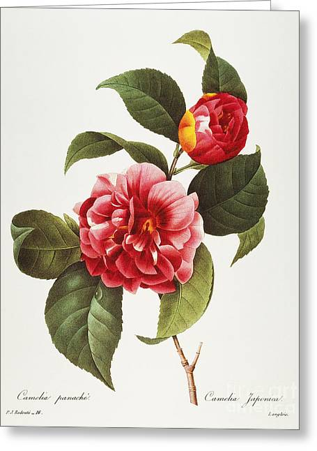 1833 Greeting Cards - Camellia, 1833 Greeting Card by Granger