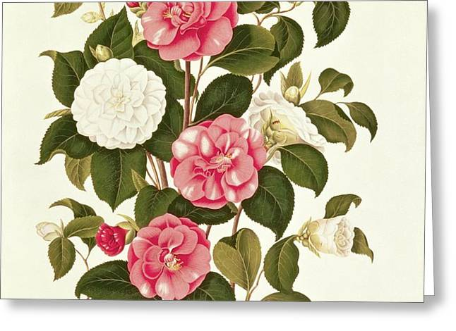 Camellia Greeting Card by English School