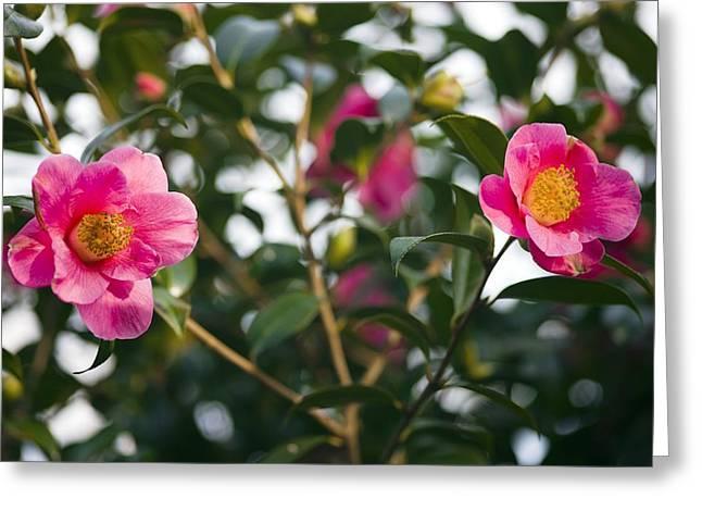 Camellia Japonica Greeting Cards - Camellia Flower (camelia Japonica) Greeting Card by Dr Keith Wheeler
