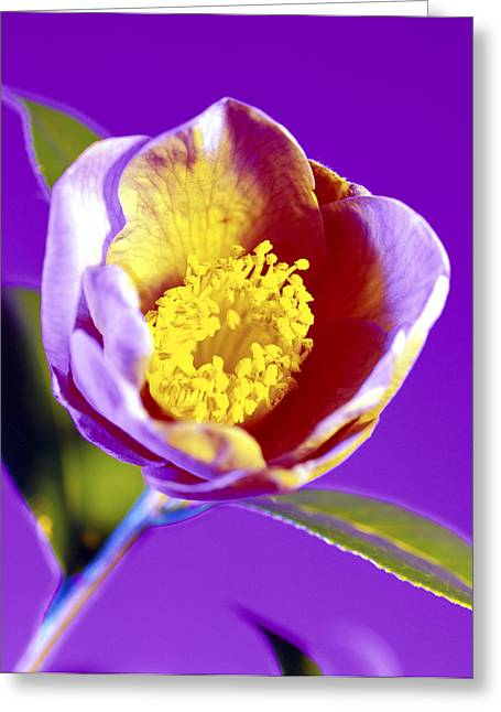 Camellia Flower (camellia Sp.) Greeting Card by Johnny Greig