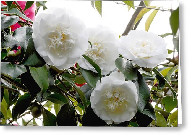 Camellia Japonica Greeting Cards - Camellia Flowers (camellia Japonica) Greeting Card by Dr Keith Wheeler