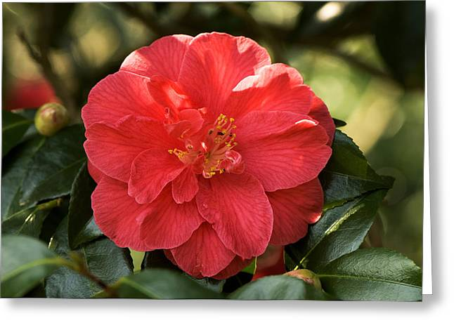 Camellia Japonica Greeting Cards - Camellia Japonica mercury Greeting Card by Adrian Thomas