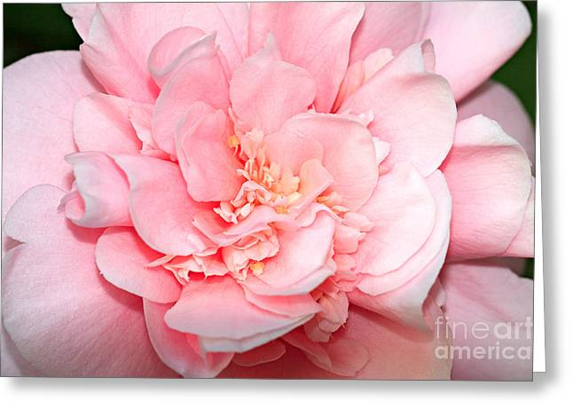 Camellia Greeting Card by Louise Heusinkveld
