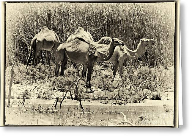 Reflections Greeting Cards - Camels in Lake Yeruham Greeting Card by Arik Baltinester