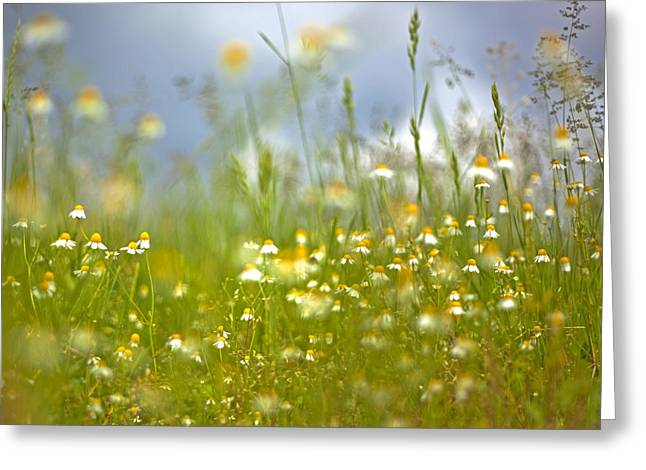 Renata Vogl Greeting Cards - Camomile Greeting Card by Renata Vogl