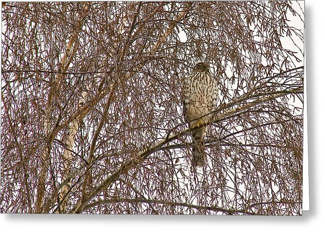 Shinning Greeting Cards - Sharp shinned Hawk Camouflaged Greeting Card by Jean Noren