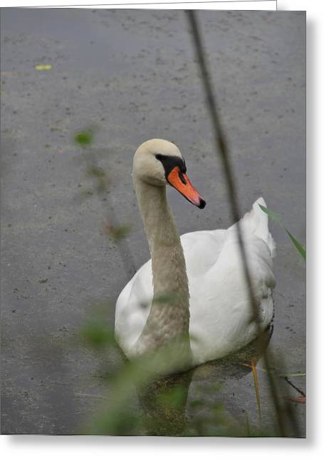 Mute Swan Greeting Cards - Camouflage Greeting Card by Odd Jeppesen