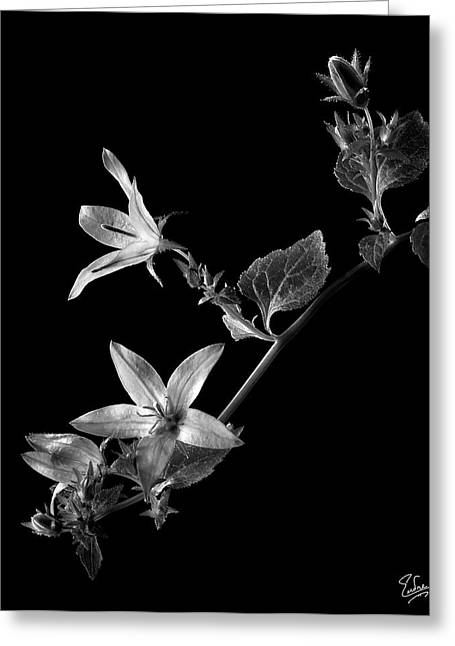 Flower Photos Greeting Cards - Campanula in Black and White Greeting Card by Endre Balogh