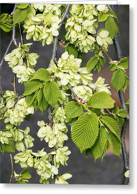 Glabra Greeting Cards - Camperdown Elm (u. Glabra camperdownii) Greeting Card by Bob Gibbons