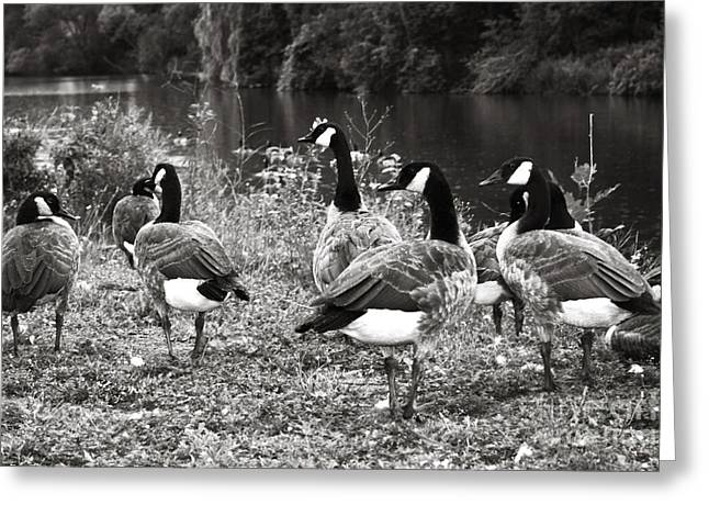 Canada Geese Greeting Card by Blink Images