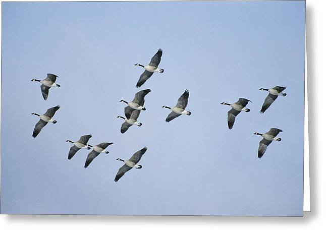 Old Faithful Geyser Greeting Cards - Canada Geese Branta Canadensis Fly Greeting Card by Michael S. Quinton
