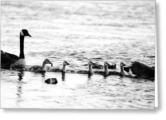 Geese Family Greeting Cards - Canada geese family II BW Greeting Card by Paul Ge