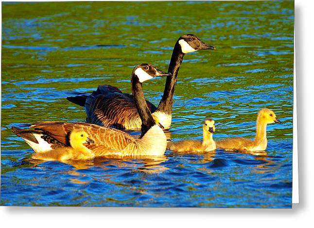 Geese Family Greeting Cards - Canada geese family Greeting Card by Paul Ge