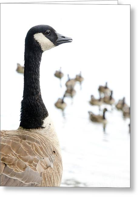 Portraits Photographs Greeting Cards - CANADA GEESE goose with wetlands birds and waterfowl Greeting Card by Andy Smy