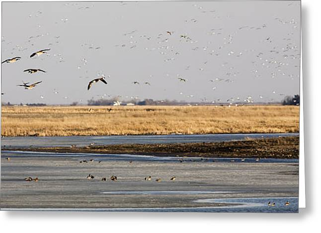 Water Fowl Greeting Cards - Canada Geese Greeting Card by Patrick Ziegler