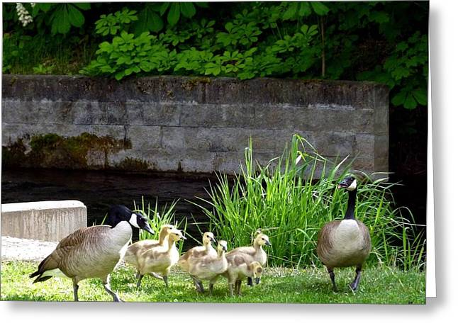 Intrigue Greeting Cards - Canada Geese With Goslings Greeting Card by Will Borden