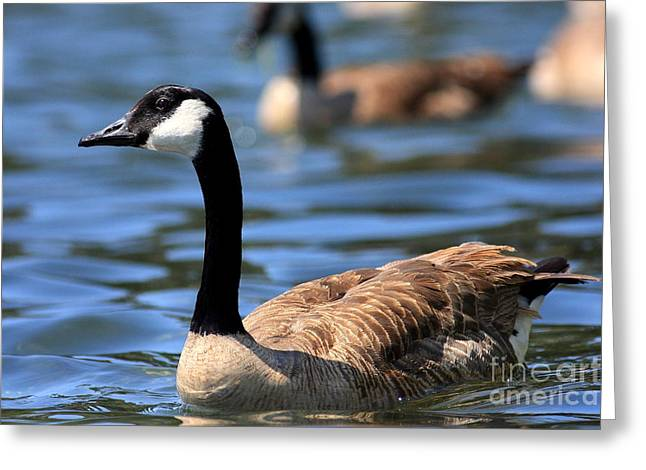 Water Fowl Greeting Cards - Canada Goose . 40D6919 Greeting Card by Wingsdomain Art and Photography