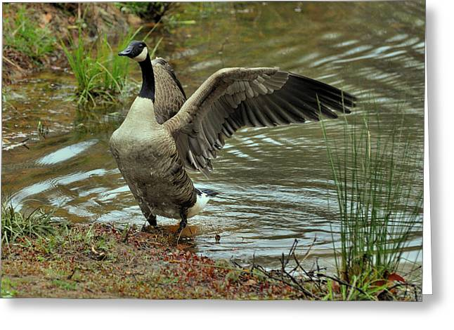 Canada Goose Emerging From Pond - C9044b Greeting Card by Paul Lyndon Phillips