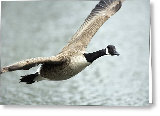 In Focus Greeting Cards - Canada Goose In Flight, Montreal Greeting Card by Philippe Henry