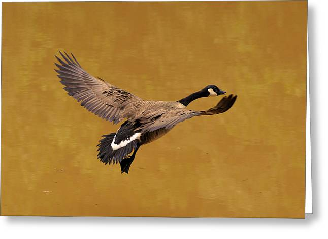 Canada Goose in Landing Approach  - c4557b Greeting Card by Paul Lyndon Phillips