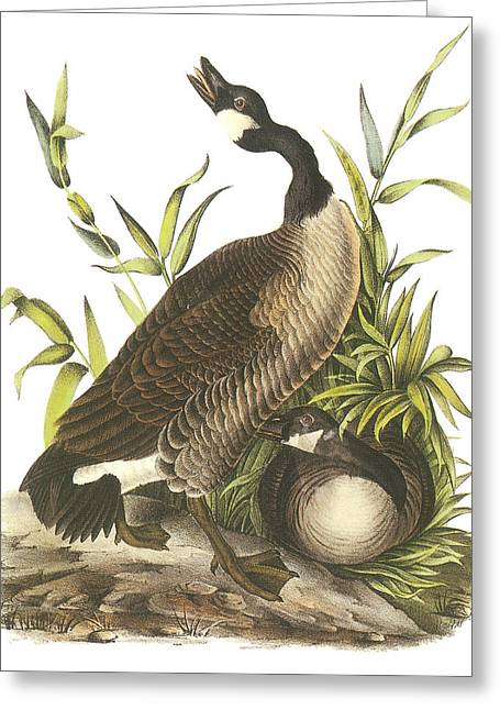 Geese Paintings Greeting Cards - Canada Goose Greeting Card by John James Audubon