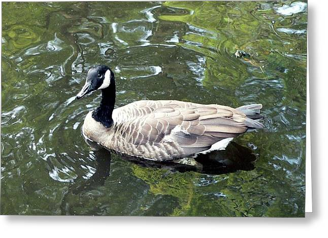 Water Fowl Greeting Cards - Canada Goose Pose Greeting Card by Al Powell Photography USA