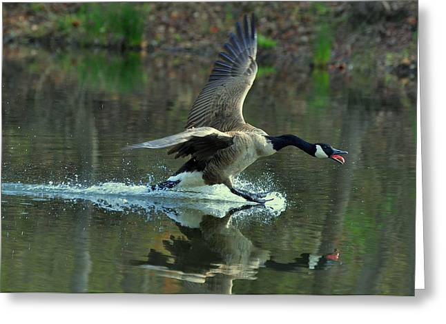 Canada Goose Power Landing - C8139h Greeting Card by Paul Lyndon Phillips