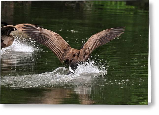 Canada Goose Splash Down  - C2247a Greeting Card by Paul Lyndon Phillips