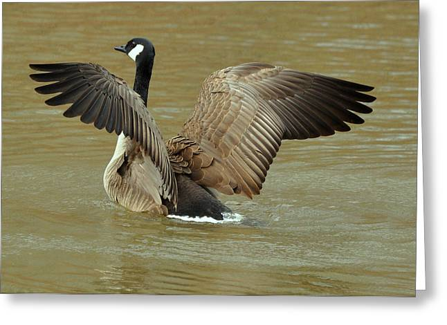 Canada Goose Wing Display - C8079b Greeting Card by Paul Lyndon Phillips