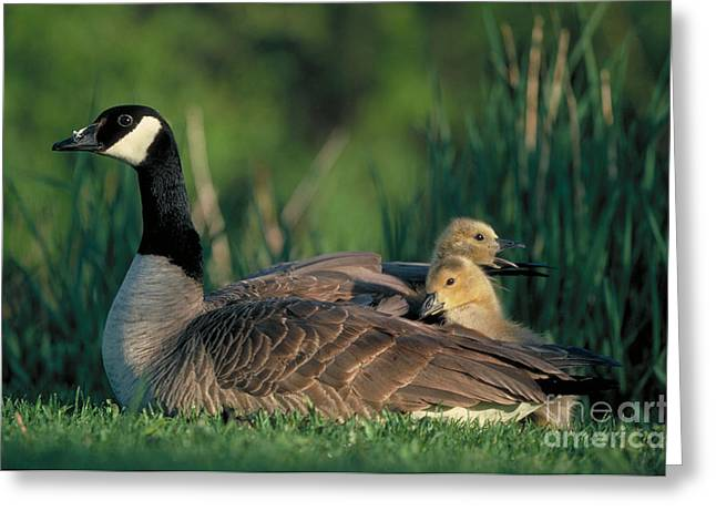 Mother Goose Greeting Cards - Canada Goose with goslings Greeting Card by Alan and Sandy Carey and Photo Researchers