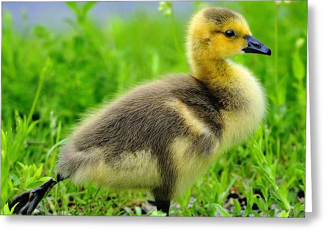 Gosling Greeting Cards - Canada Gosling Greeting Card by Tony Beck
