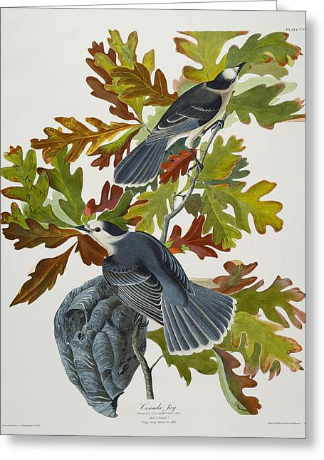 Oak Leaf Drawings Greeting Cards - Canada Jay Greeting Card by John James Audubon