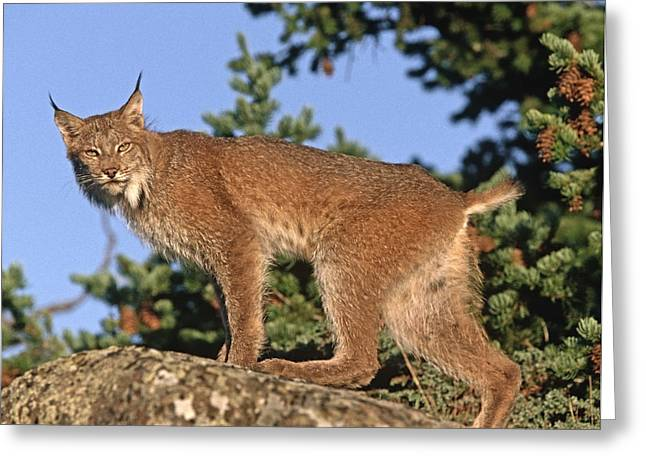 Lynx Sp Greeting Cards - Canada Lynx Climbing On Rock North Greeting Card by Tim Fitzharris