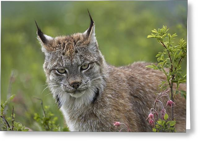 Lynx Sp Greeting Cards - Canada Lynx Portrait North America Greeting Card by Tim Fitzharris