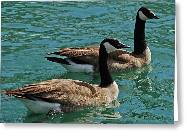 Canadian Geese Greeting Card by Carol  Eliassen