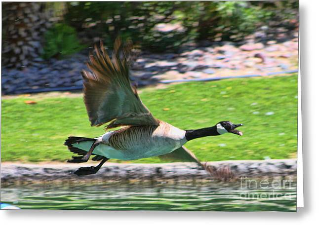 Marriot Greeting Cards - Canadian Geese Greeting Card by Tommy Anderson
