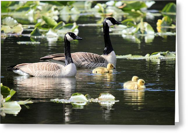 Mile One Greeting Cards - Canadian Geese with chics at One mile lake Pemberton Greeting Card by Pierre Leclerc Photography