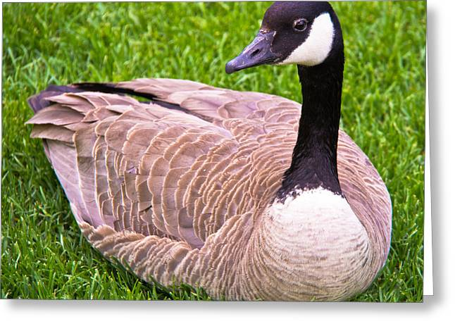 Langlois Greeting Cards - Canadian Goose Greeting Card by Darren Langlois