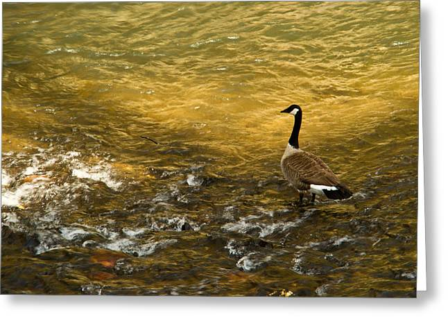 Rill Greeting Cards - Canadian Goose in Golden Sunlight 3 Greeting Card by Douglas Barnett
