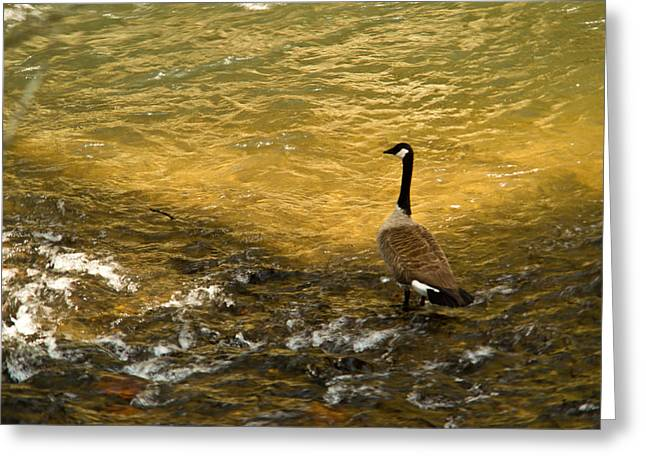 Rill Greeting Cards - Canadian Goose In Golden Sunlight Greeting Card by Douglas Barnett