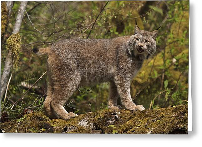 Bobcats Greeting Cards - Canadian Lynx D6419 Greeting Card by Wes and Dotty Weber