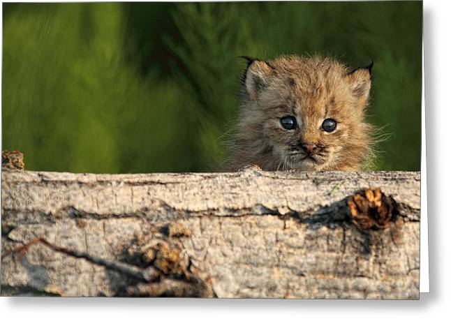 Canadian Lynx Greeting Cards - Canadian Lynx Kitten Looking Greeting Card by Robert Postma