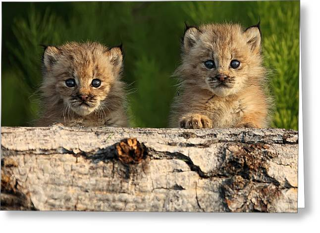 Canadian Lynx Greeting Cards - Canadian Lynx Kittens Looking Greeting Card by Robert Postma