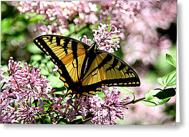 Brown Photographs Greeting Cards - Canadian Tiger Swallowtail on Lilacs - 1 Greeting Card by Tam Graff