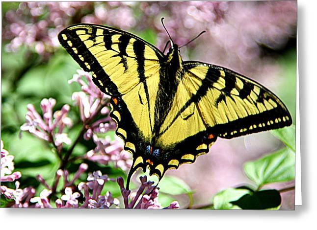 Brown Photographs Greeting Cards - Canadian Tiger Swallowtail on Lilacs - 2 Greeting Card by Tam Graff