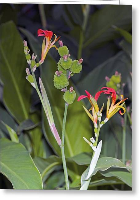 Canna Photographs Greeting Cards - Canna Brasiliensis Greeting Card by Dr Keith Wheeler