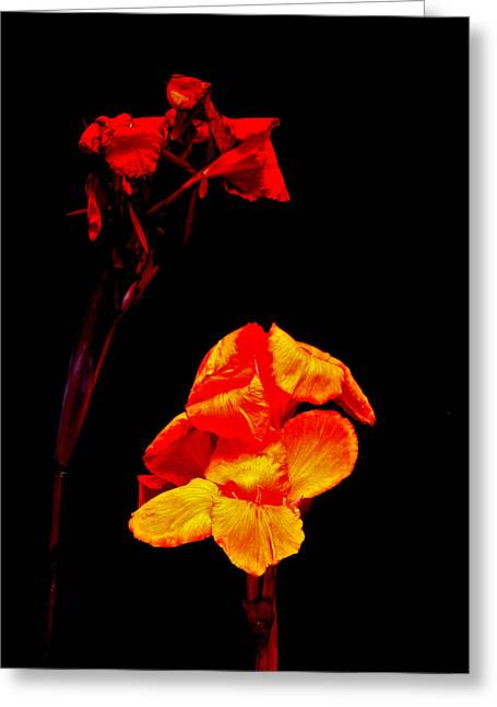 Canna Greeting Cards - Canna Lilies on Black Greeting Card by Mother Nature