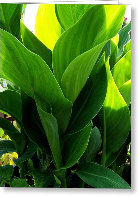 Canna Greeting Cards - Canna Lilly Greeting Card by Susan Saver