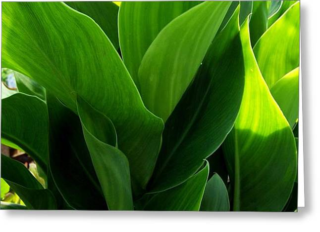 Canna Lilly Greeting Card by Susan Saver