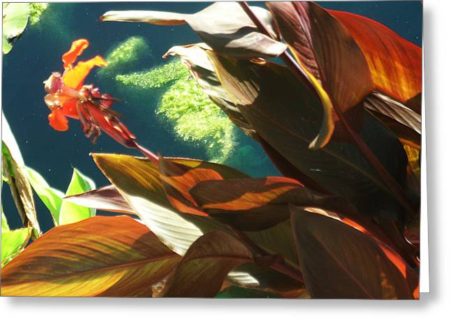 Canna Lily and Water in San Angelo Civic League Park Greeting Card by Louis Nugent